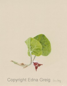 Wild Ginger(Asarum canadense)Colored pencil on tinted paper 8.5 x 10.5 inches
