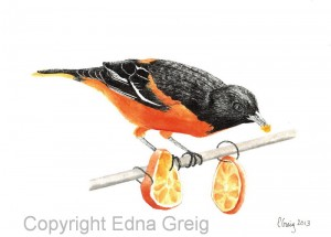 Baltimore Oriole(Icterus galbula)Pen and watercolor wash on paper 8 x 11 inches