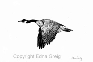 Canada Goose(Branta canadensis)Pen and ink on paper 6.5 x 10 inches