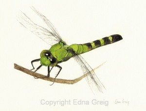 Eastern Pondhawk female(Eryethemis simplicicollis)Casein on paper 8.5 x 10.5 inches