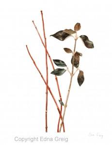 Service Viburnum 'Chesapeake' and Redtwig Dogwood(Viburnum utile and Cornus sericea) Watercolor and colored pencil on paper 8.5 x 10.5 inches