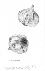 Garlic(Allium sativum)Graphite on paper 5.5 x 9 inches
