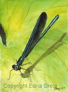 Ebony Jewelwing Damselfly male(Calopteryx maculata)Watercolor on paper 6.5 x 8.5 inches