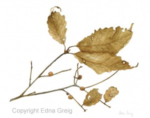 Chestnut Oak(Quercus prinus)Ink wash on paper  8.5 x 10.5 inches