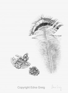 Wild Turkey feather and Turkey Tail fungus(Mellagris gallopavo and Trametes sp.)Graphite on paper 8 x 11 inches