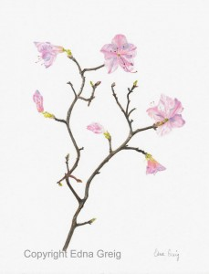 Korean Rhododendron(Rhododendron mucronulatum)Colored pencil on paper 8.5 x 10.5 inches