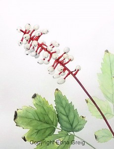 Dolls' Eyes(Actaea pachypoda)Watercolor on paper 11 x 14 inches