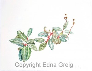 Spotted Wintergreen(Chimaphila maculata)Watercolor on paper 11 x 14 inches