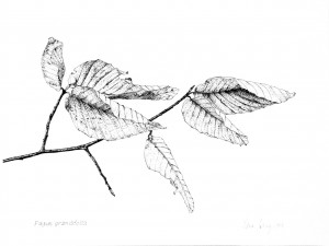 American Beech Winter Twig(Fagus grandifolia)Pen and ink on paper 9 x 12 inches