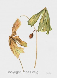 Mayapple, Late Summer(Podophyllum peltatum)Watercolor on paper 11 x 14 inches